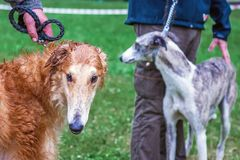 Two breeding dogs of greyhound with their masters on a walk in r royalty free stock images
