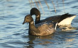 Two Brent Goose Branta bernicla swimming in the sea at high tide feeding. Two Brent Goose Branta bernicla swimming in the sea at high tide feeding on plants on Royalty Free Stock Photos