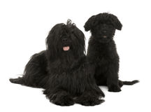 Two Briard dogs, 2 years old and 13 weeks old. Sitting in front of white background Stock Images