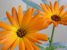 Two bright  calendula flowers Royalty Free Stock Photo