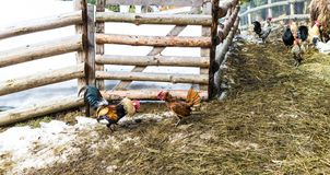 Two bright, colorful, warlike rooster fighting in the barnyard. Near the wooden fence in the village, farm, Ukraine stock photo