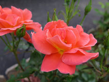Two bright coral garden roses in full bloom Royalty Free Stock Photography