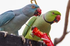Two bright green and blue parrots eat red hot chili royalty free stock photos