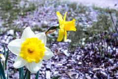 Two bright, happy, cheerful, yellow gold and white unique spring Easter daffodil bulbs blooming in outside garden in springtime stock images