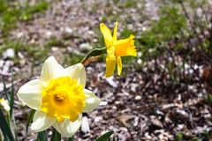 Two bright, happy, cheerful, yellow gold and white unique spring Easter daffodil bulbs blooming in outside garden in springtime stock image