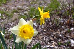 Two bright, happy, cheerful, yellow gold and white unique spring Easter daffodil bulbs blooming in outside garden in springtime stock photography