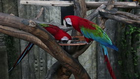 Two bright macaw parrot eating stock video footage