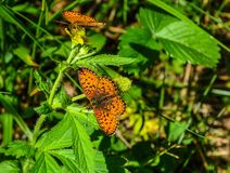 Two bright orange butterflies Lesser Marbled Fritillary on the grass. Two bright orange butterflies Lesser Marbled Fritillary Argunnis paphia in the forest on stock photography