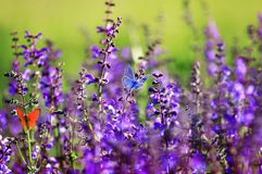 Natural background with two small bright  butterfly Blues sitting on purple flowers in summer Sunny day on a rural meadow royalty free stock photos