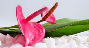 Two bright pink Anthurium flowers with leaves and stones. A composition of two bright pink Anthurium flowers with green leaves and white stones on a light gray Stock Photos