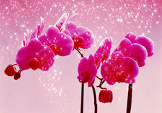 Two bright pink orchids on pink background Royalty Free Stock Images