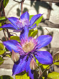 Two bright purple clematis flowers look beautiful in the sun Royalty Free Stock Photo