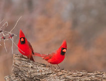 Two bright red male Northern Cardinals Stock Images
