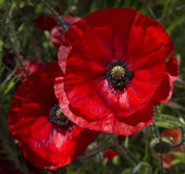 Two bright, red poppies. A field of bright, red poppies illuminated by the afternoon sunshine Stock Photo