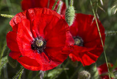 Two bright red poppies Stock Photography