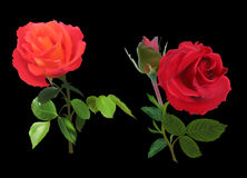 Two bright red roses on black Royalty Free Stock Image