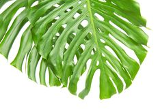 Two bright tropical leaves with holes Stock Photography