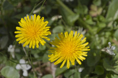 Two Bright Yellow Dandilions Stock Image