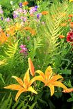Two bright yellow lilies in fern leaves. And other flowers Stock Image