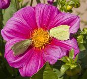 Two brimstone butterflies on dahlia Stock Photography
