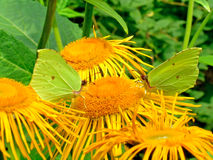 Two brimstones butterflies. Two brimstones sitting on horse-heals. The butterflies are called gonepteryx, is a genus of butterfly in the Pieridae  stock images