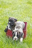 Two Brindle Boxer Puppies In Party Box Royalty Free Stock Photo