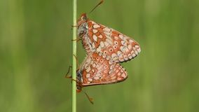 Marsh fritillaries Euphydryas aurinia in cop. Two of Britain`s most threatened butterflies mating, on grassland in Wiltshire stock video