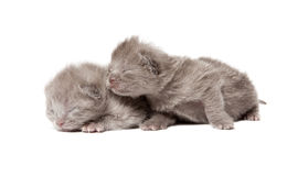 Two british blue shothair kittens Stock Photography