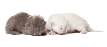 Two british blue shothair kittens Stock Image