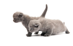 Two british blue shothair kittens Royalty Free Stock Photography