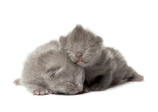 Two british blue shothair kittens Stock Photos