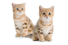 Two British breed kitten Stock Images