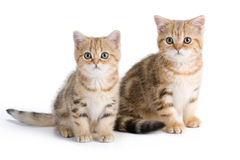 Two British breed kittens Stock Images