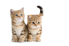 Two British breed kittens Stock Photo