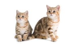 Two British breed kittens Royalty Free Stock Image