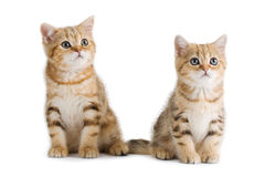 Two British breed kittens is isolated Stock Photography