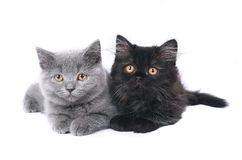 Two British kitten. Stock Photo