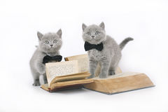 Two British kitten with a book. Two British kitten with a book on a white background Stock Image
