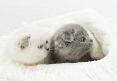 Two British kitten Stock Photos