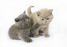 Two British kittens Stock Images