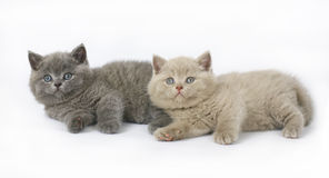Two British kittens Royalty Free Stock Photos