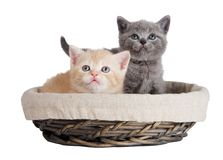 Two british kittens in a basket Stock Photos