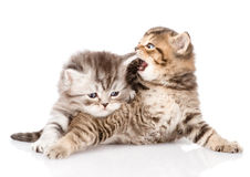 Two british kittens fighting. isolated on white background Royalty Free Stock Photos
