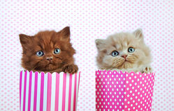 Two british kittens Royalty Free Stock Images