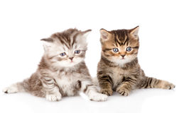Two british kittens looking at camera. isolated on white backgro Royalty Free Stock Photo