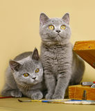 Two British kittens with paints Royalty Free Stock Photos