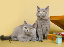 Two British kittens with paints Stock Photo