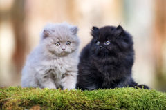Two  british longhair kittens outdoors together Royalty Free Stock Photo