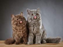 Two british longhair kittens Stock Photography
