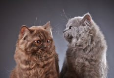 Two british longhair kittens Royalty Free Stock Images